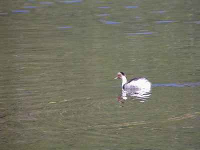 Hooded Grebe (Podiceps gallardoi)