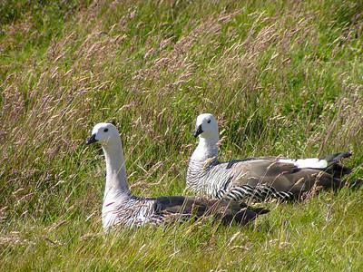 Upland Goose(Chloephaga picta)