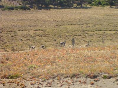 Lesser Rhea (Rhea pennata)