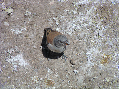Red-backed Sierra Finch (Phrygilus dorsalis)