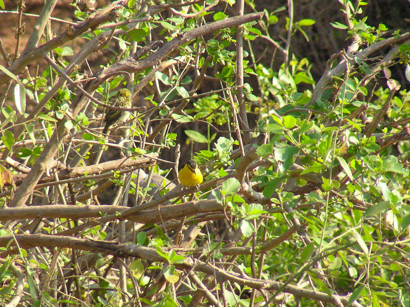 Black-necked Weaver (Ploceus nigricollis)