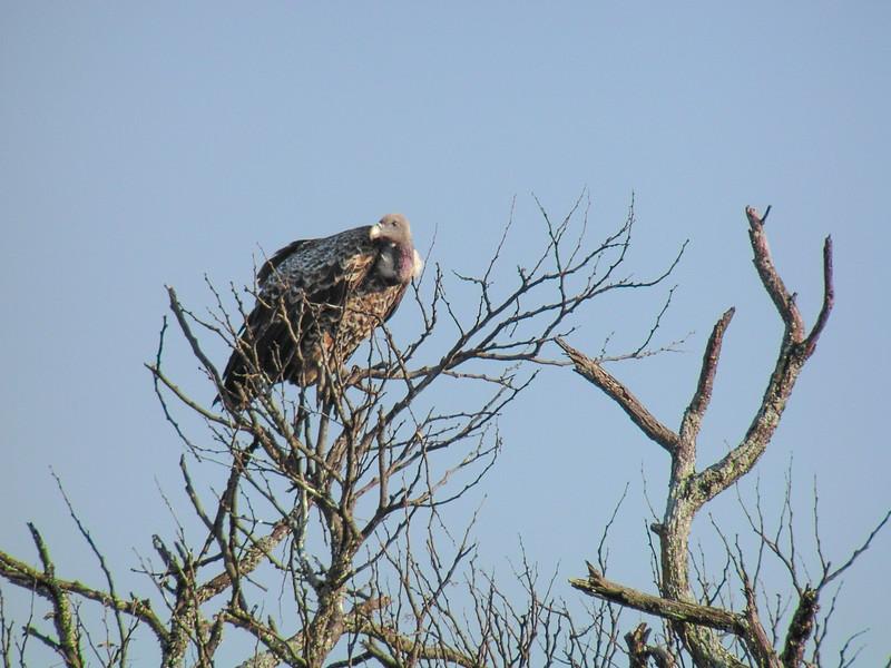 Rüppell's Vulture (Gyps rueppellii)