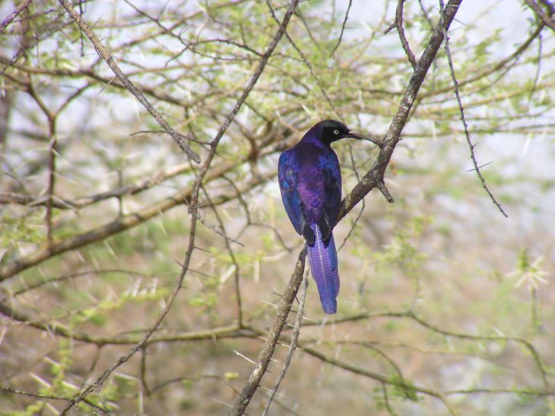 Rüppell's Starling (Lamprotornis purpuroptera)