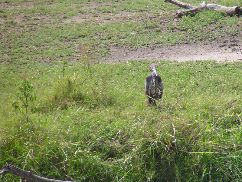 Goliath Heron (Ardea goliath)