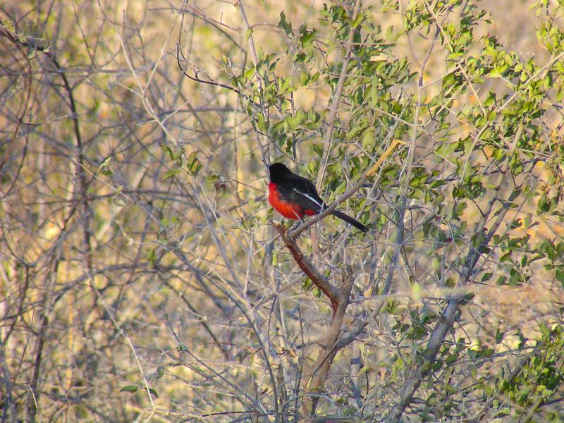 Crimson-breasted Shrike (Laniarius atrococcineus)