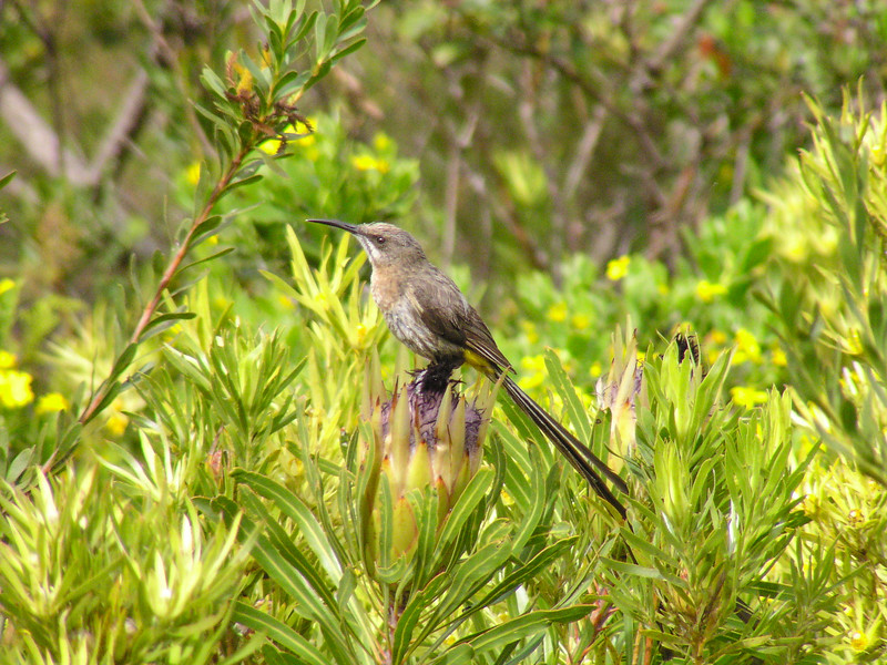 Cape Sugarbird(Promerops cafer)