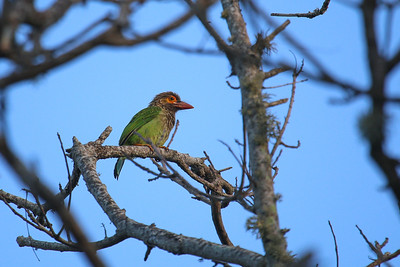 Brown-headed Barbet (Psilopogon zeylanicus)