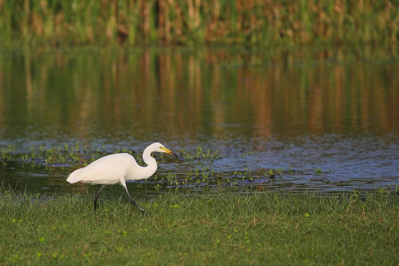 Intermediate Egret (Ardea intermedia)