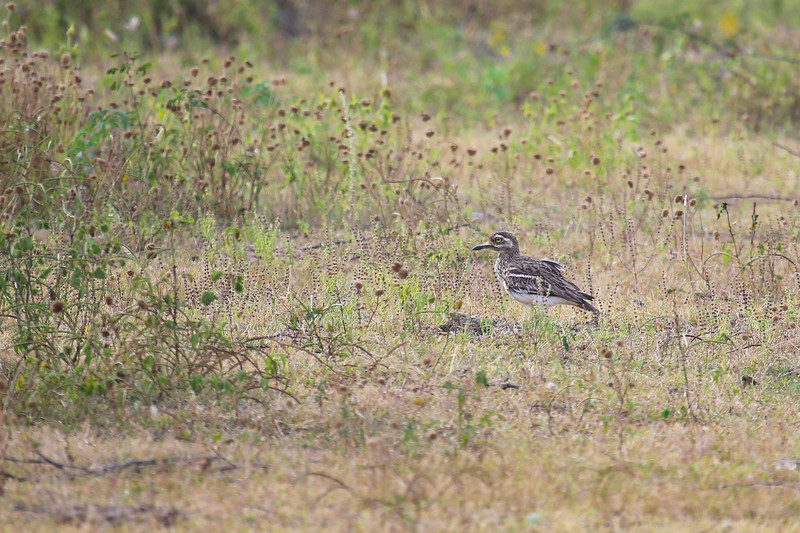 Indian Stone-curlew (Burhinus indicus)
