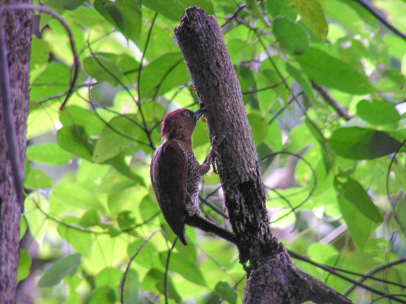 Banded Woodpecker (Chrysophlegma miniaceum)