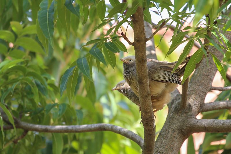 Yellow-billed Babbler (Turdoides affinis)