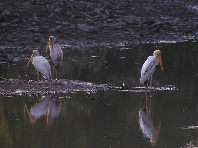 Milky Stork (Mycteria cinerea)
