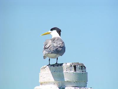 Crested Tern (Sterna bergii)