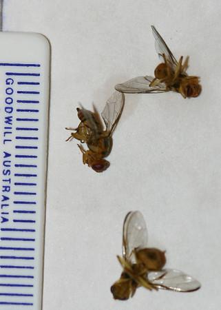 Bactrocera sp. (cf. Bactrocera dorsalis or Bactrocera facialis)