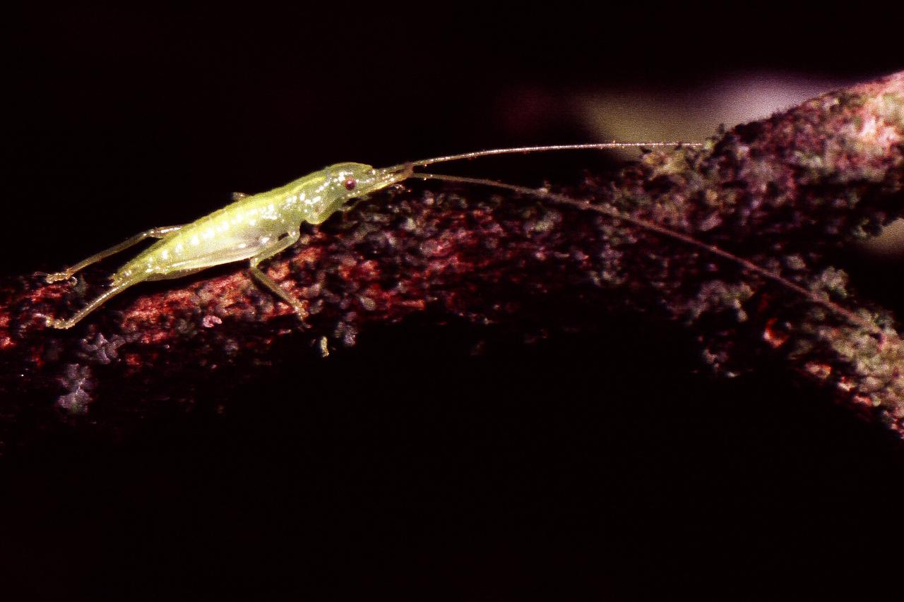 Banza sp. (Orthoptera: Tettigoniidae), West Maui