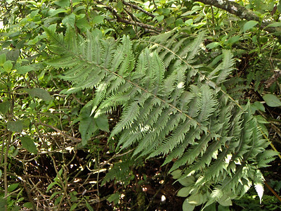 "Christella cyatheoides x Pneumatopteris sandwicensis (West Maui)This image is licensed under the Creative Commons Attribution-NonCommercial 3.0 Unported license.  You may share and adapt this work, but only with attribution (""by Hank L. Oppenheimer"") and only for non-commercial purposes unless permission is obtained from the copyright-holder (contact webmaster@hear.org)."