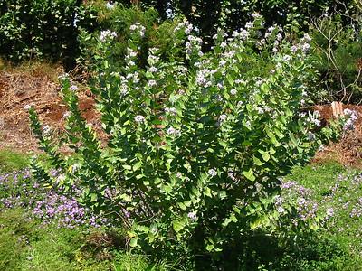 Calotropisgigantea plant in Kihei (Maui), Hawaii (photoID=20020929_142-4281)