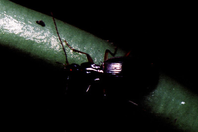 Coleoptera : Carabidae on Cyanea scabra West Maui