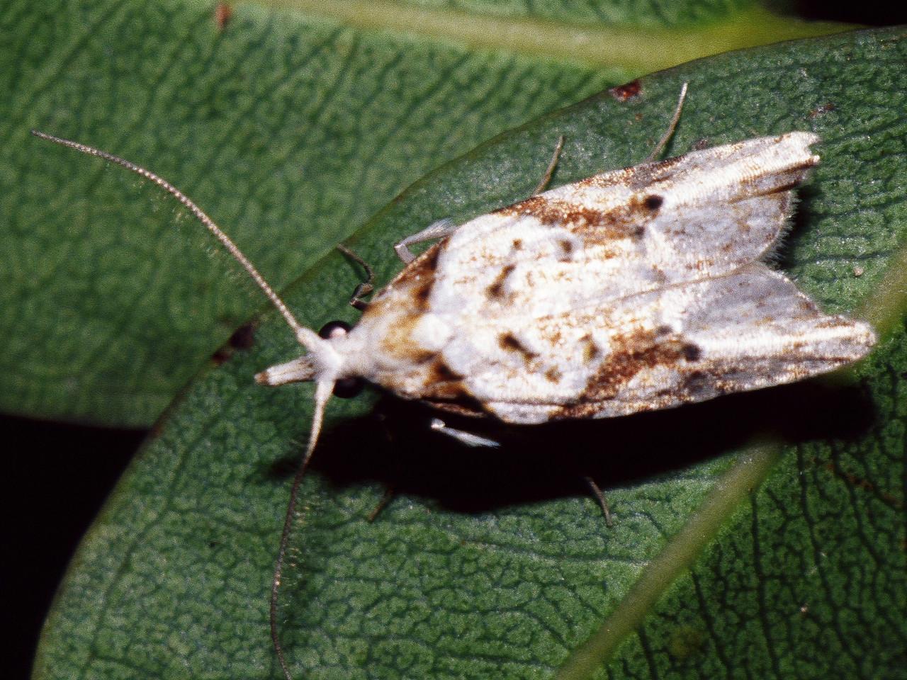 Carposina sp. (Lepidoptera), West Maui