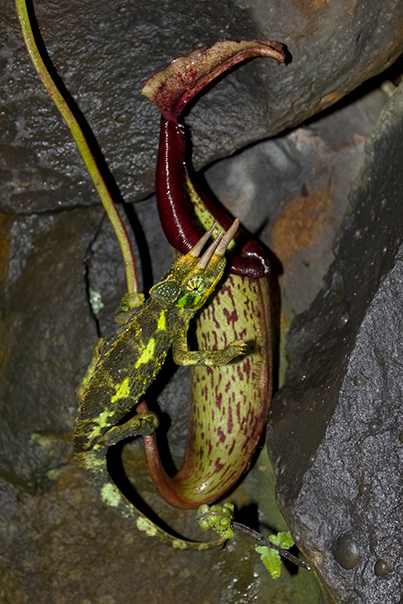 "Jackson's chameleon (Chamaeleo jacksonii) (found ""in the wild"") on a (cultivated) Nepenthes pitcher in Kula, Maui, Hawaii (06 July 2009).  (photoID: 20090706_002106)Copyright © 2009 by Philip A. Thomas.  Contact imagesbypt@philipt.com for permission to use (and for higher-resolution version)."