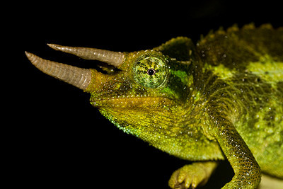 "Jackson's chameleon (Chamaeleo jacksonii) (found ""in the wild"") in Kula, Maui, Hawaii (06 July 2009).  (photoID: 20090706_001935)Copyright © 2009 by Philip A. Thomas.  Contact imagesbypt@philipt.com for permission to use (and for higher-resolution version)."