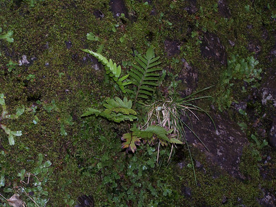 """Christella boydiae (East Maui) This image is licensed under the Creative Commons Attribution-NonCommercial 3.0 Unported license.  You may share and adapt this work, but only with attribution (""""by Hank L. Oppenheimer"""") and only for non-commercial purposes unless permission is obtained from the copyright-holder (contact webmaster@hear.org)."""