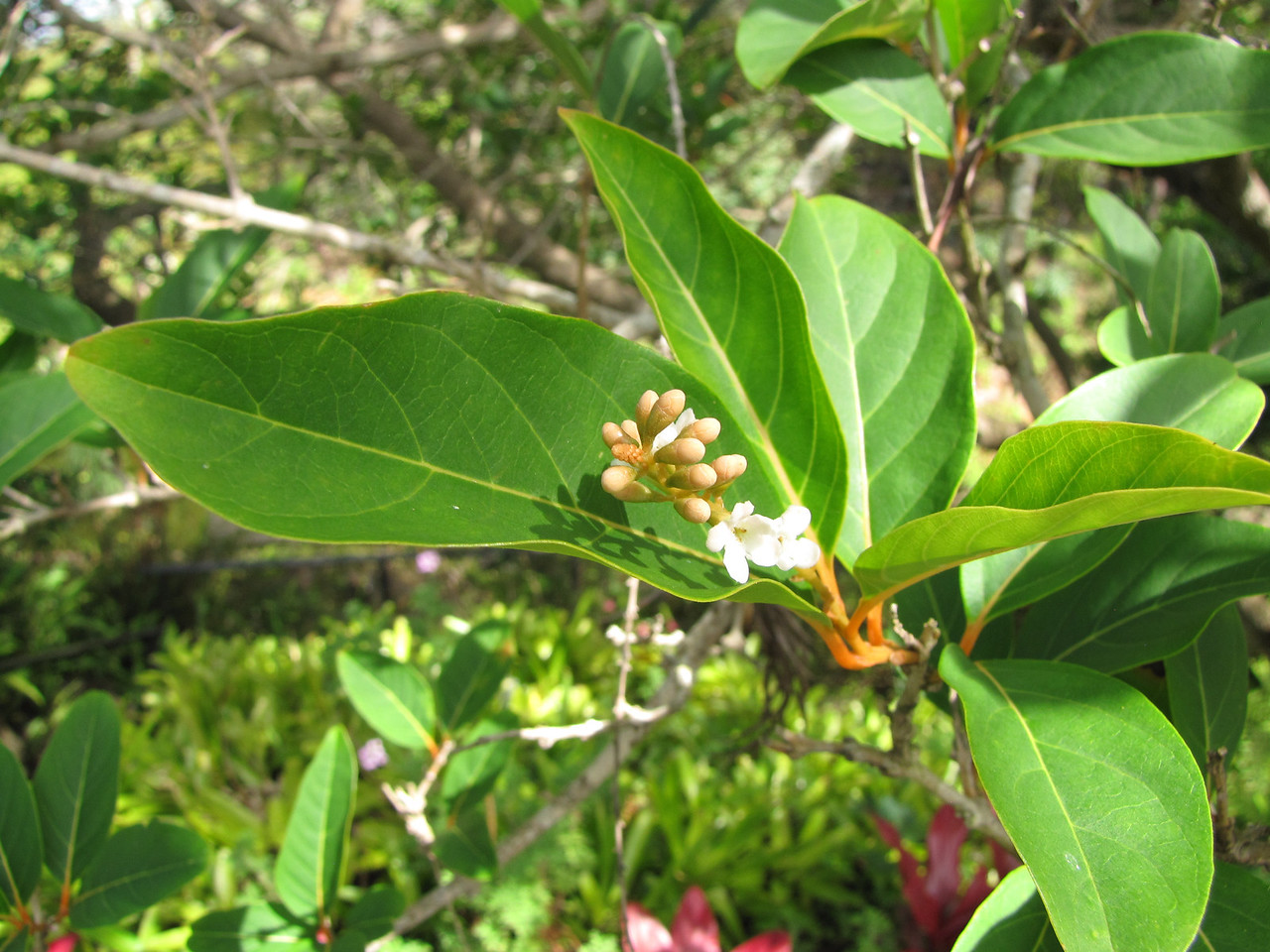 Citharexylum spinosum (Verbenaceae) flowers and leaves at Kula Botanical Garden, Maui (Hawaii) (March 07, 2011).PhotoID=starr-110307-1944Photo by Forest and Kim Starr.  If you'd like to use this image, please see their image use policy.More images of this species by these photographers can be found here: search for more Starr images on HEAR.org