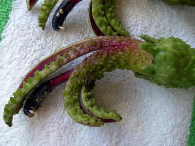 Clermontiatuberculata ( Campanulaceae) ('oha wai) from Waikamoi Preserve (East Maui, Hawaii, USA) (04June2009)Photo copyright (c)2009 by Randy Bartlett (rtb@hawaii.rr.com)