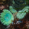 Giant Green Anemone(Anthopleura xanthogrammica)