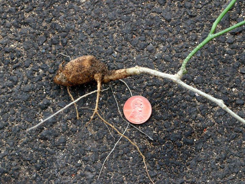 Coccinia grandis (ivy gourd) root (Kihei, Maui, Hawaii) (photoid&20040423_000176)