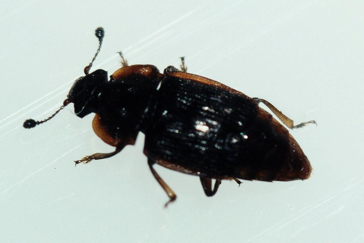 unidentified Coleoptera on Astelia menziesiana, West Maui