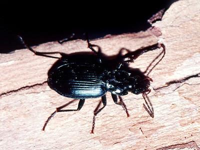 unidentified Coleoptera under Metrosideros polymorpha bark, Hakalau NWR, Hawaii