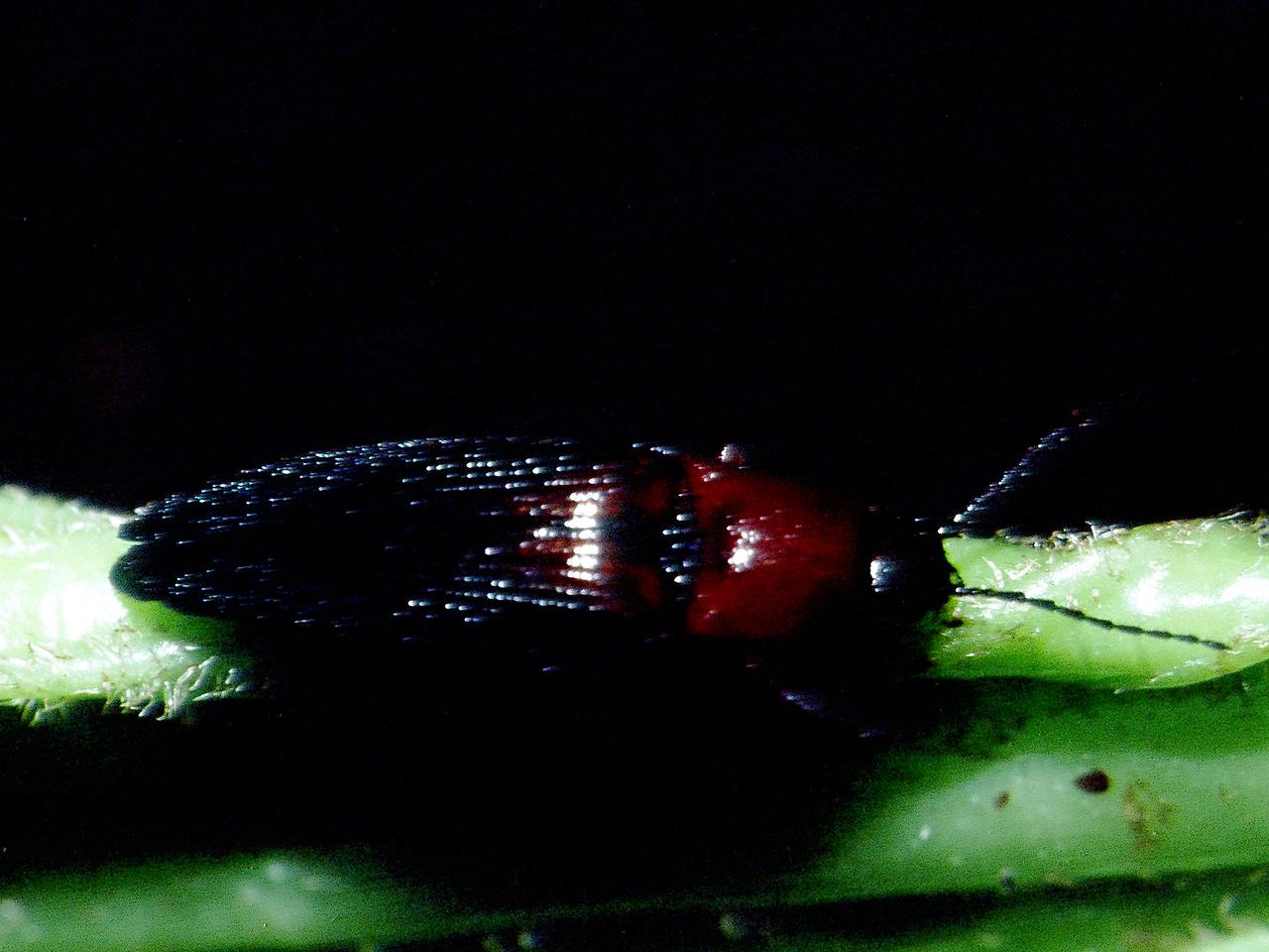 unidentified Coleoptera on Dubautia laxa, West Maui