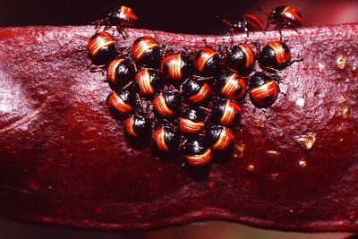 Coleotichus blackburniae (Heteroptera: Pentatomidae), East Maui