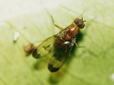 unidentified Diptera, West Maui