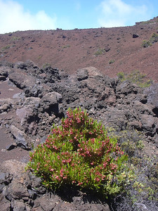 Dodonaea viscosa fruiting at edge of red lava flow in Haleakala National Park (Maui, Hawaii) (August 13, 2004).PhotoID=starr-040813-0201Photo by Forest and Kim Starr.  If you'd like to use this image, please see their image use policy.More images of this species by these photographers can be found here: Search for more Starr images on HEAR.org