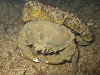 Dromia dormia (Dormiidae) - sponge crab PhotoID:PT20080111-000014 Copyright (c) 2008 by Philip A. Thomas (imagesbypt@philipt.com)