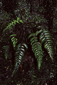 "Dryopteris crinalis This image is licensed under the Creative Commons Attribution-NonCommercial 3.0 Unported license.  You may share and adapt this work, but only with attribution (""by Hank L. Oppenheimer"") and only for non-commercial purposes unless permission is obtained from the copyright-holder (contact webmaster@hear.org)."