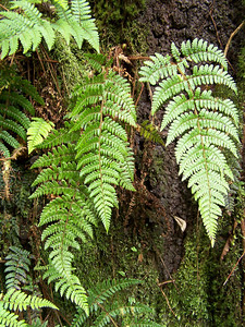 "Dryopteris crinalis (Molokai) This image is licensed under the Creative Commons Attribution-NonCommercial 3.0 Unported license.  You may share and adapt this work, but only with attribution (""by Hank L. Oppenheimer"") and only for non-commercial purposes unless permission is obtained from the copyright-holder (contact webmaster@hear.org)."