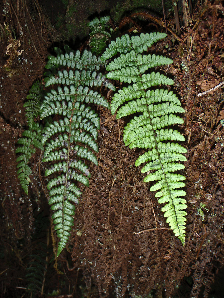 "Dryopteris crinalis (East Maui)This image is licensed under the Creative Commons Attribution-NonCommercial 3.0 Unported license.  You may share and adapt this work, but only with attribution (""by Hank L. Oppenheimer"") and only for non-commercial purposes unless permission is obtained from the copyright-holder (contact webmaster@hear.org)."