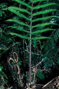 "Dryopteris fusco-atra This image is licensed under the Creative Commons Attribution-NonCommercial 3.0 Unported license.  You may share and adapt this work, but only with attribution (""by Hank L. Oppenheimer"") and only for non-commercial purposes unless permission is obtained from the copyright-holder (contact webmaster@hear.org)."