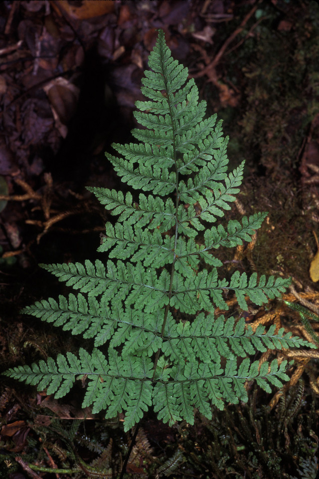 "Dryopteris glabra This image is licensed under the Creative Commons Attribution-NonCommercial 3.0 Unported license.  You may share and adapt this work, but only with attribution (""by Hank L. Oppenheimer"") and only for non-commercial purposes unless permission is obtained from the copyright-holder (contact webmaster@hear.org)."