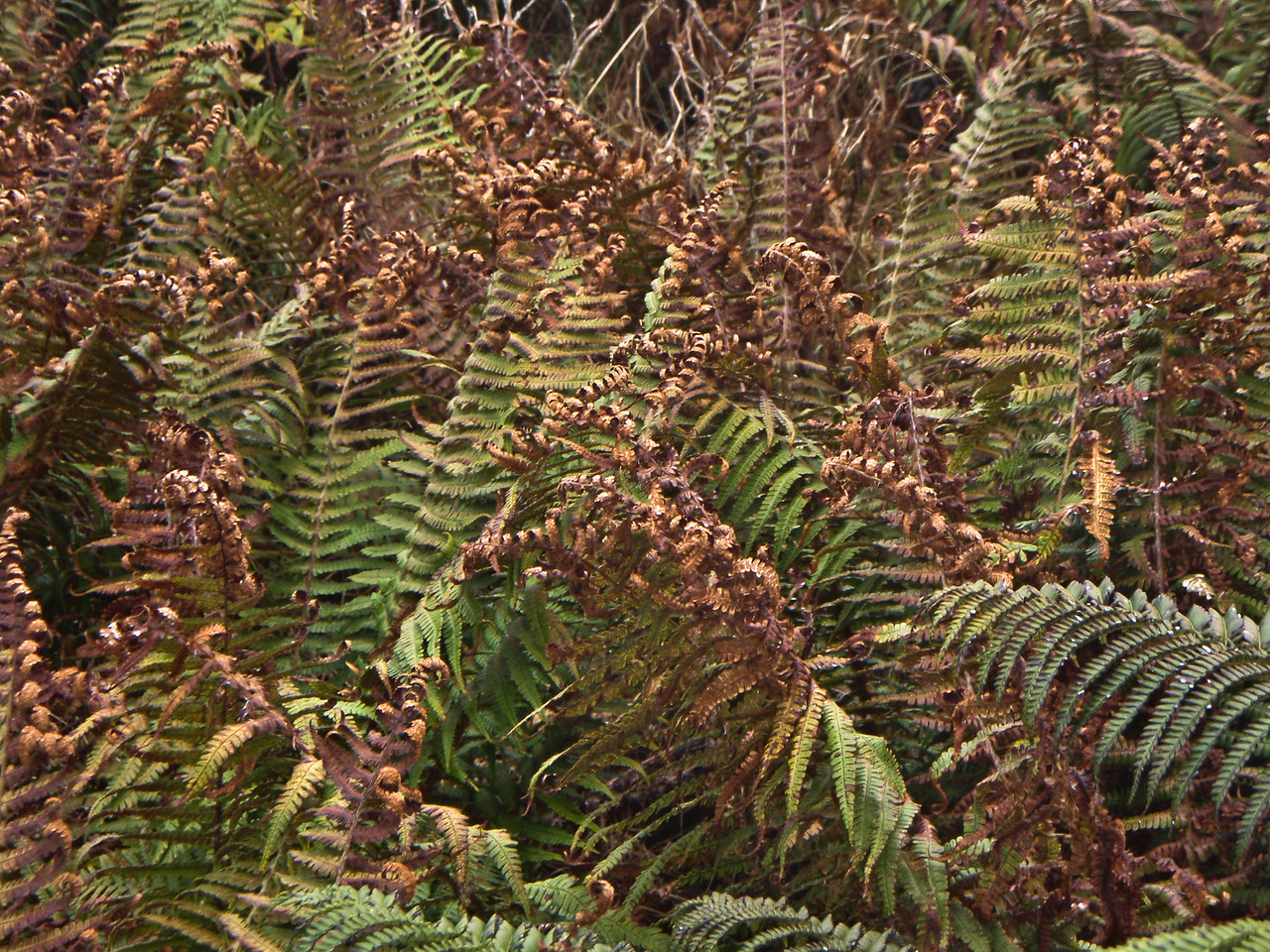 """Dryopteris sp. (East Maui)This image is licensed under the Creative Commons Attribution-NonCommercial 3.0 Unported license.  You may share and adapt this work, but only with attribution (""""by Hank L. Oppenheimer"""") and only for non-commercial purposes unless permission is obtained from the copyright-holder (contact webmaster@hear.org)."""