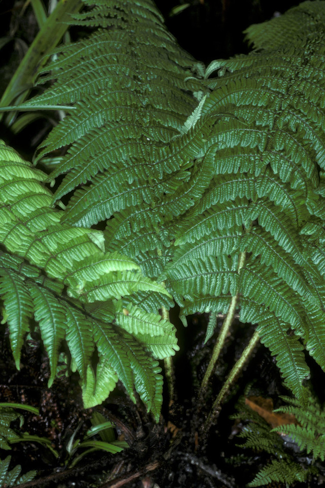 """Dryopteris subbipinnata (West Maui) This image is licensed under the Creative Commons Attribution-NonCommercial 3.0 Unported license.  You may share and adapt this work, but only with attribution (""""by Hank L. Oppenheimer"""") and only for non-commercial purposes unless permission is obtained from the copyright-holder (contact webmaster@hear.org)."""