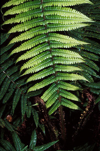 """Dryopteris wallichiana This image is licensed under the Creative Commons Attribution-NonCommercial 3.0 Unported license.  You may share and adapt this work, but only with attribution (""""by Hank L. Oppenheimer"""") and only for non-commercial purposes unless permission is obtained from the copyright-holder (contact webmaster@hear.org)."""