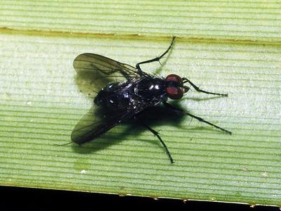 Dyscritomyia sp. (Diptera: Calliphoridae) on Freycinetia arborea West Maui