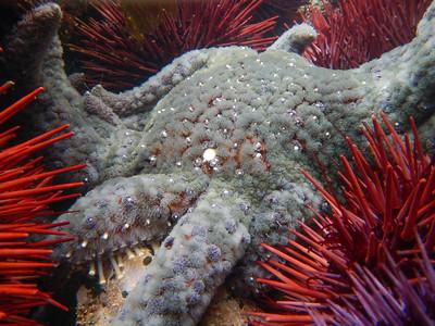 Sunflower Sea Star (Pycnopodia helianthoides)