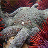 Sunflower Sea Star (Pycnopodia helianthoides)