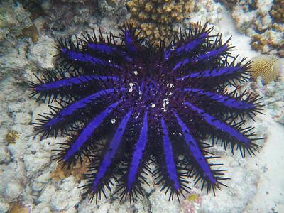 Crown-of-thorns Starfish (Acanthaster planci)
