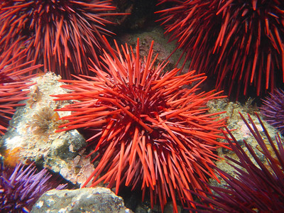 Red Sea Urchin (Mesocentrotus franciscanus)